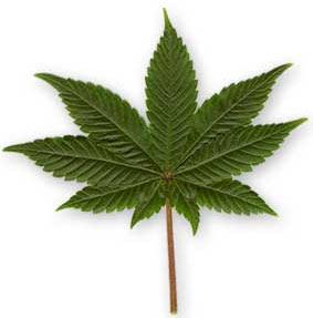 foglia cannabis indica